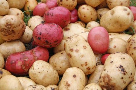 growing potatoes Stock Photo