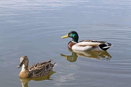 mallard: two ducks