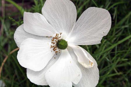 anemone flower: anemone bianco fiore