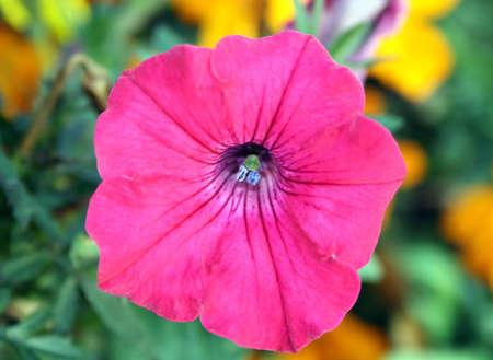 pink petunia  photo