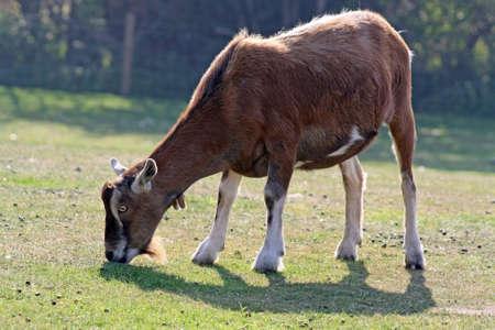 comer hierba de cabra Foto de archivo