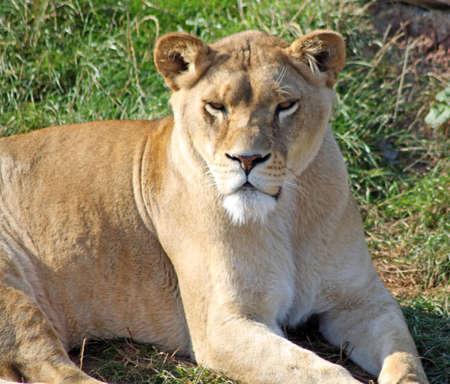 stunning lioness photo