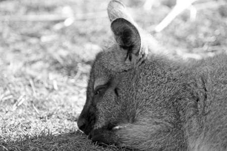 young wallaby photo