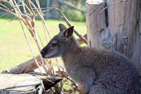 wallaby: stunning wallaby