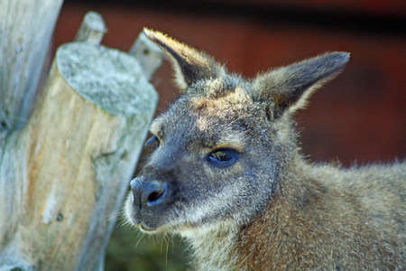 wallaby in a field Stock Photo