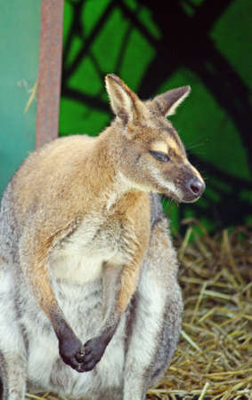 wallaby: wallaby in a field Stock Photo