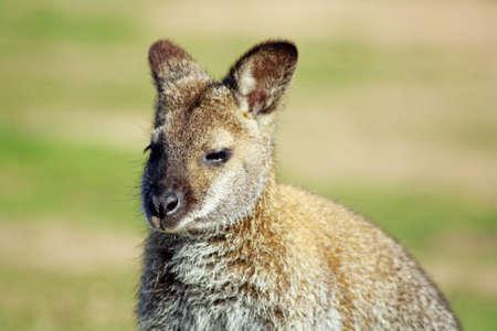 wallaby: young wallaby