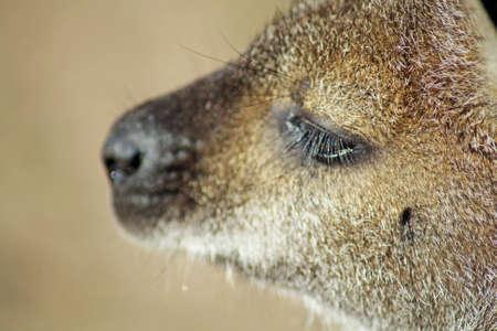 wallaby: baby wallaby Stock Photo