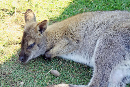 wallaby: resting wallaby
