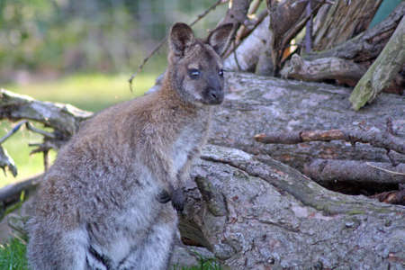 wallaby: wallaby
