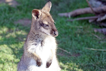 stunning wallaby