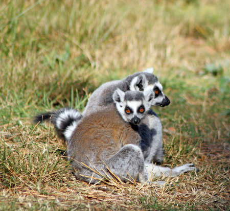 ring tailed lemurs photo