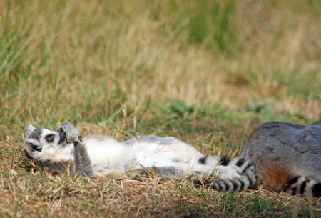 ring tailed: sun bathing ring tailed lemur