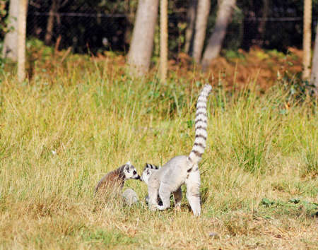 ring tailed: ring tailed lemurs