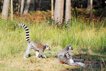 ring tailed: playful ring tailed lemurs