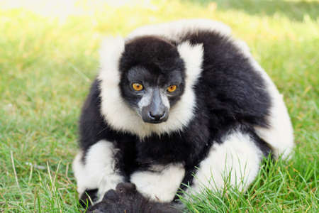 black and white lemur  photo