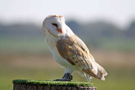 barn owl Stock Photo - 11846610