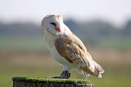 barn owl Stock Photo - 11846610
