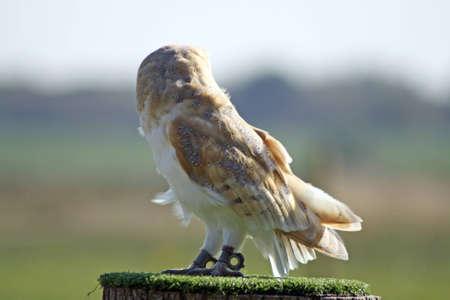 barn owl photo