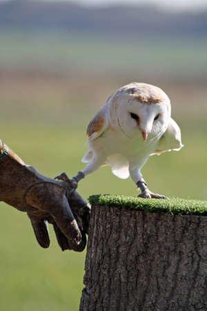 barn owl Stock Photo - 11846637