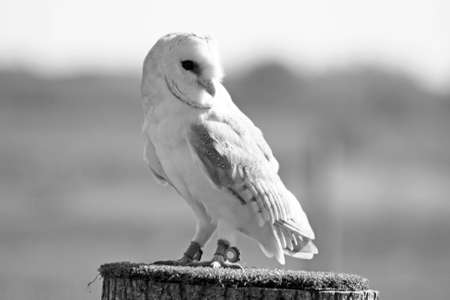 barn owl Stock Photo - 11846616