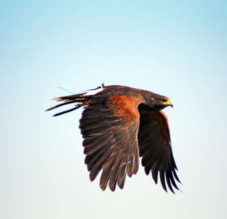 bird of prey in flight photo