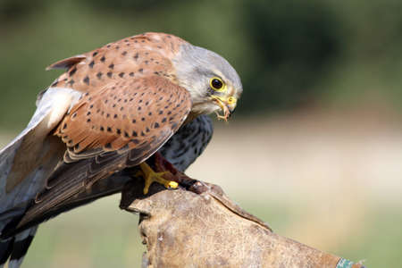 stunning kestral Stock Photo