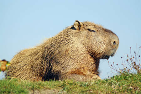 stunning capybara photo
