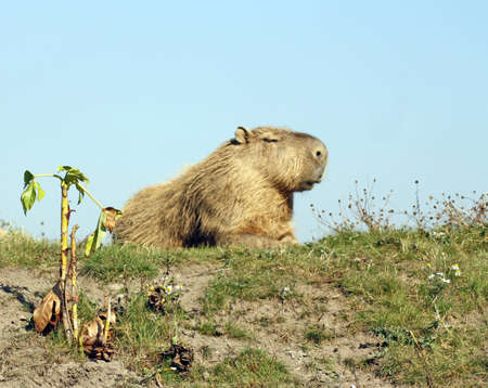 capybara Stock Photo - 11911005