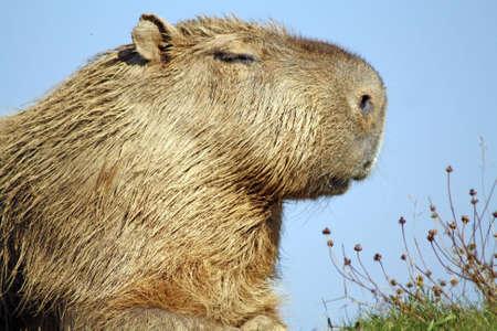 stunning capybara