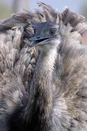 rhea bird  photo