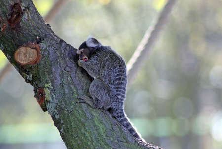 marmoset photo