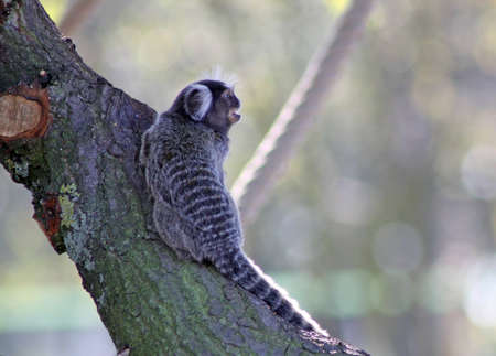common marmoset photo