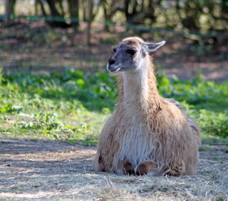 lama Stock Photo - 11997056