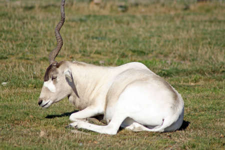 addax photo