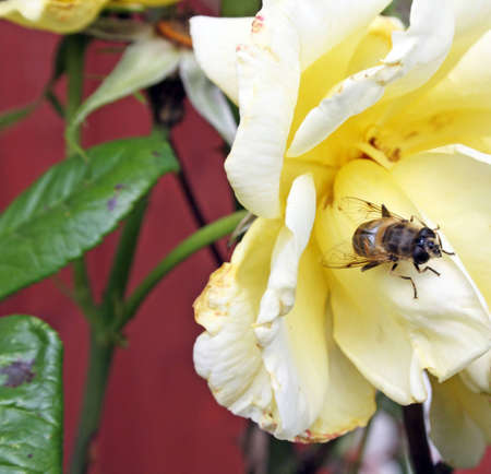 yellow rose with wasp photo