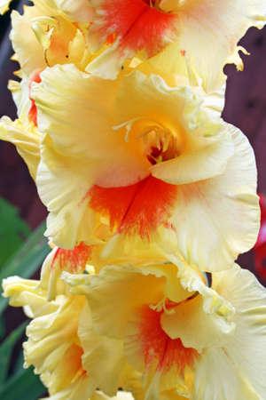 orange and yellow gladioli flower photo