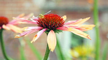 a beautiful Echinacea flower photo