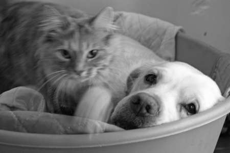 dog and cat laying in bed together  photo
