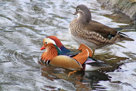 male and female mandarin ducks photo