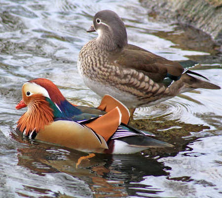 beautiful mandarin ducks photo