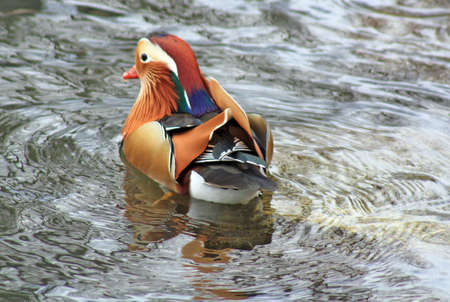 stunning mandarin duck photo