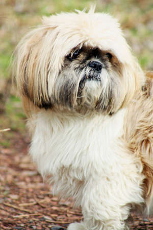shihtzu: shitzu Stock Photo