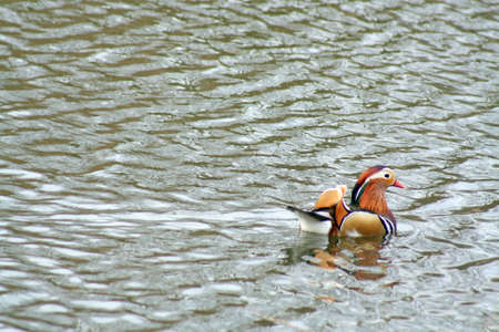 mandarin duck photo