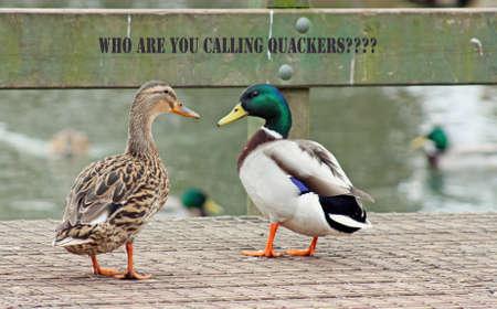 ducks Stock Photo - 12700273