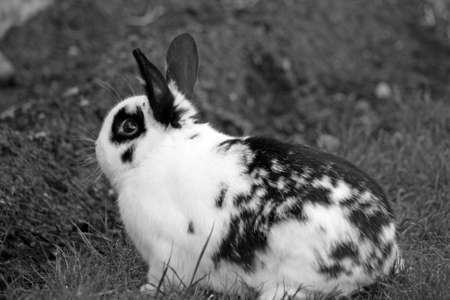 black and white rabbit  photo