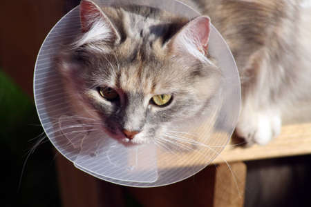 poorly: poorly cat with collar