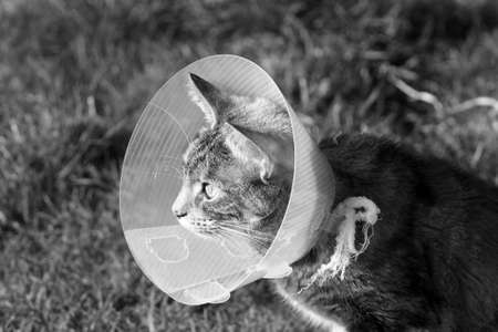 sick cat with cone  photo