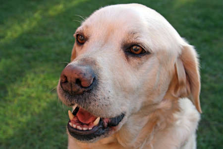 yellow labrador dog photo
