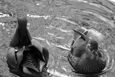 mandarin ducks photo
